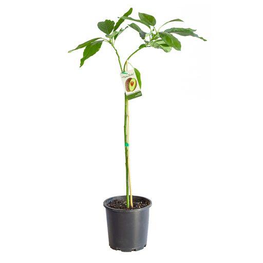 avocado-img