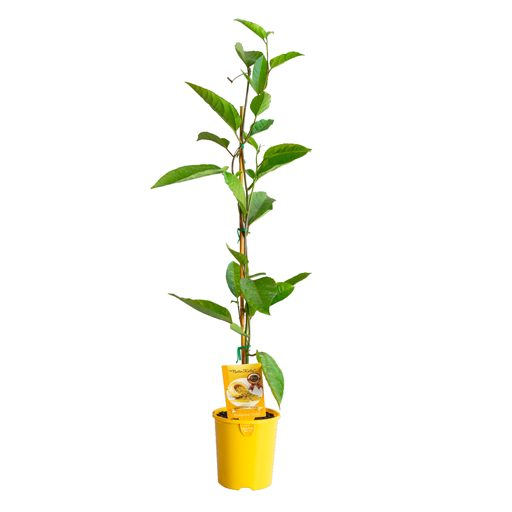 grafted-gold-img