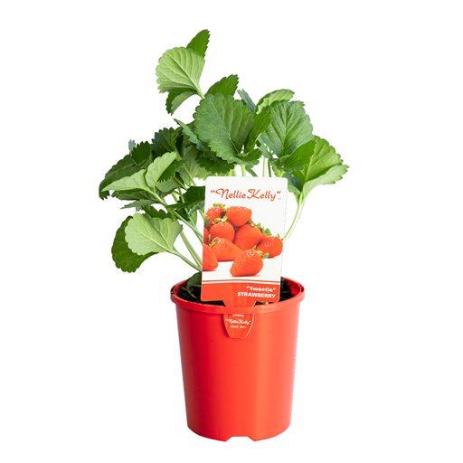 strawberry-img